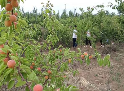 农庄采摘-桃子