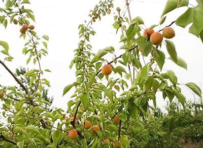 农庄采摘-杏