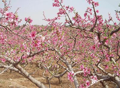 采摘园桃花