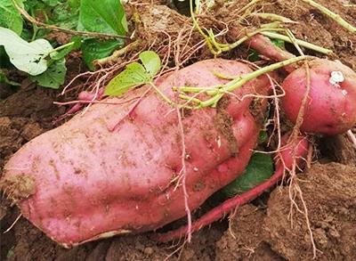 农庄采摘-红薯