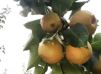 农庄采摘-梨