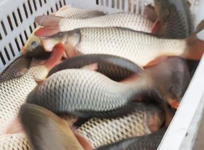 秀水特产-鱼